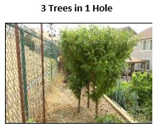 3 fruit trees planted in 1 hole
