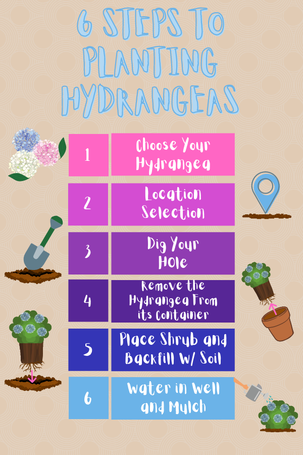 Steps to Planting a Hydrangea
