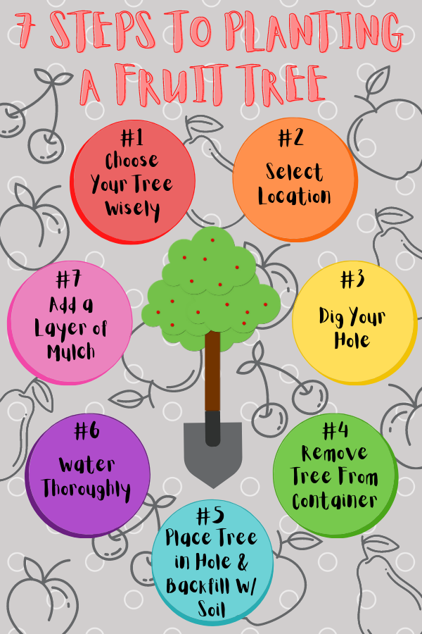 How to Plant A Fruit Tree Infograph