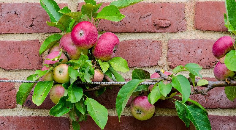 Grow Apples on an espalier trellis for easier harvest