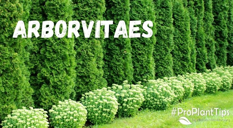 Arborvitaes Blog Title Picture