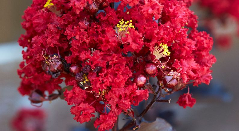 Gorgeous Black Diamond Red Hot Crape Myrtle