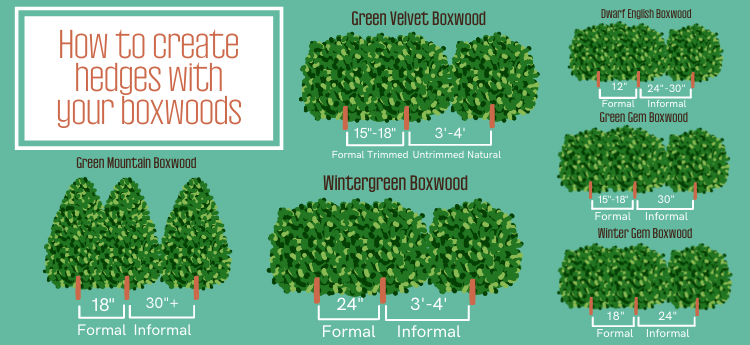 spacing of boxwood hedges