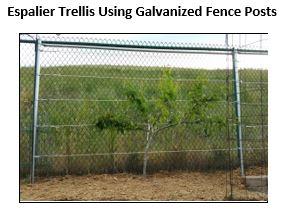 Espalier Trellis Using Galvanized Cyclone Fencing