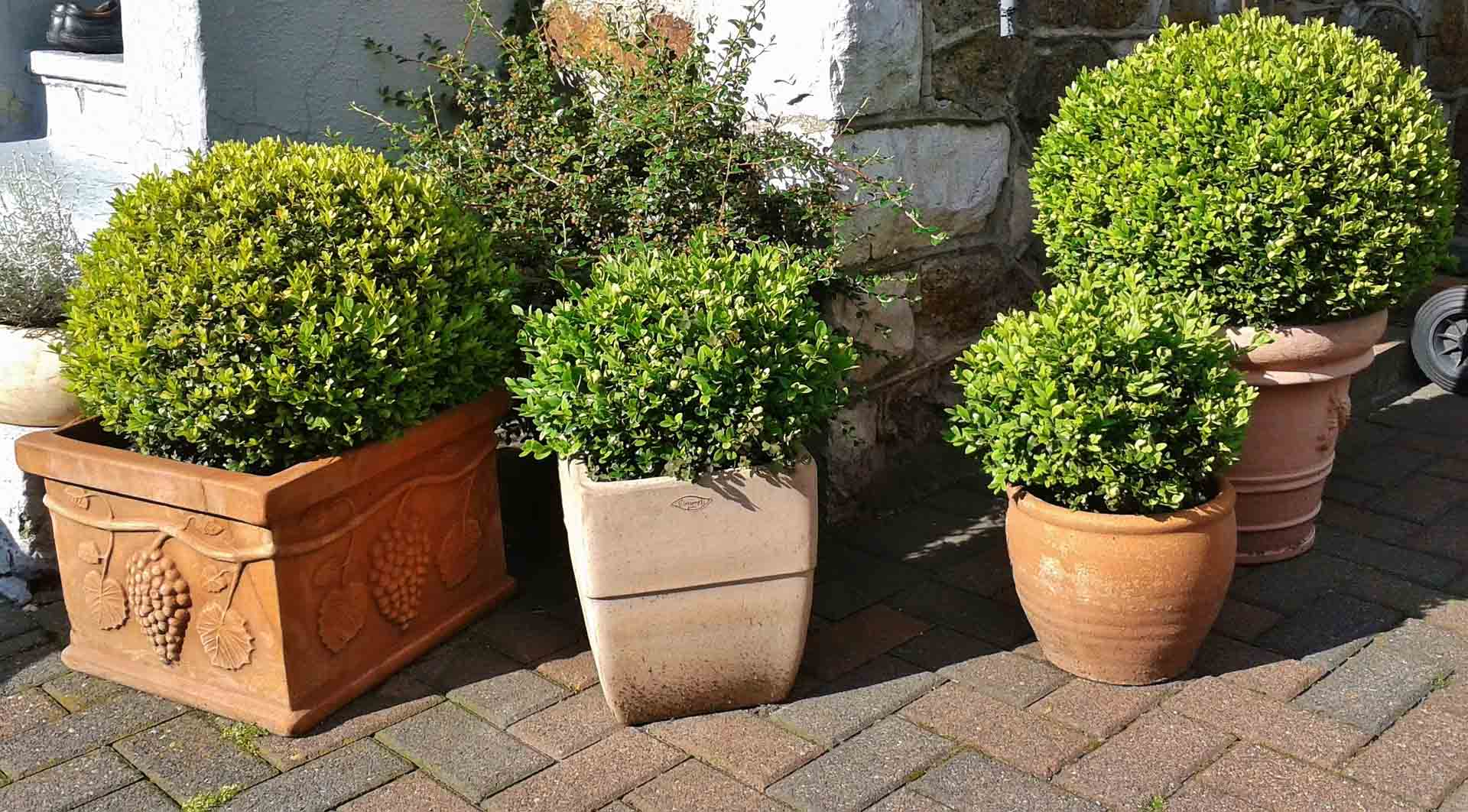 Evergreen in Container Gardens