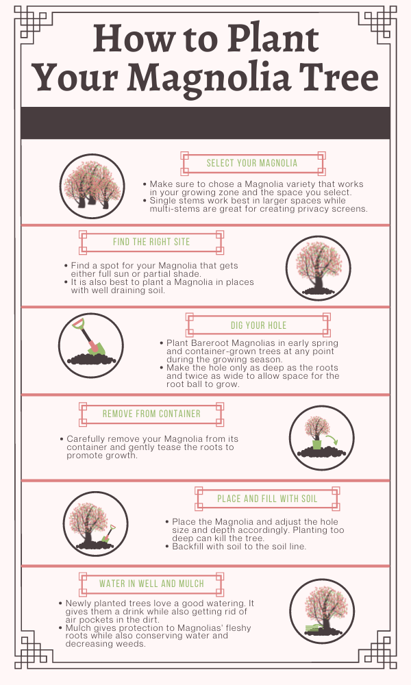How to Plant a Magnolia Tree Infographic