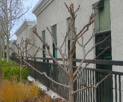 "Correctly pruned Crape Myrtle after ""hard pruning"""