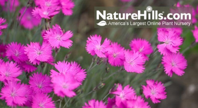 Spring Blooming Dianthus Header Image