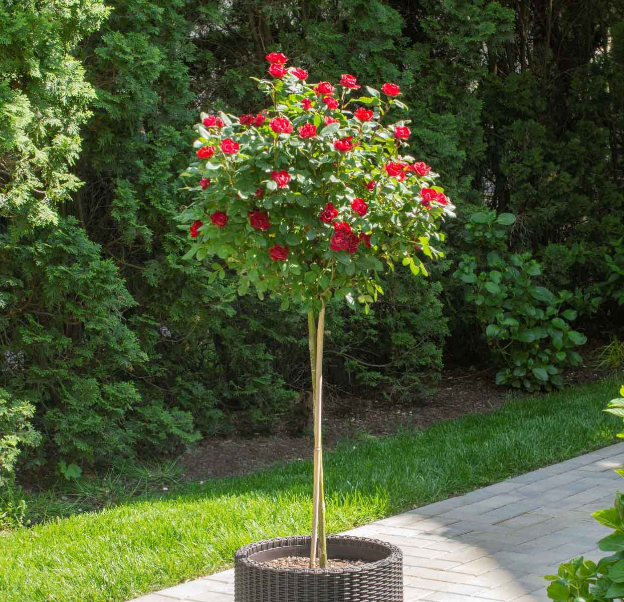 Petite Knockout Rose Tree form in pot