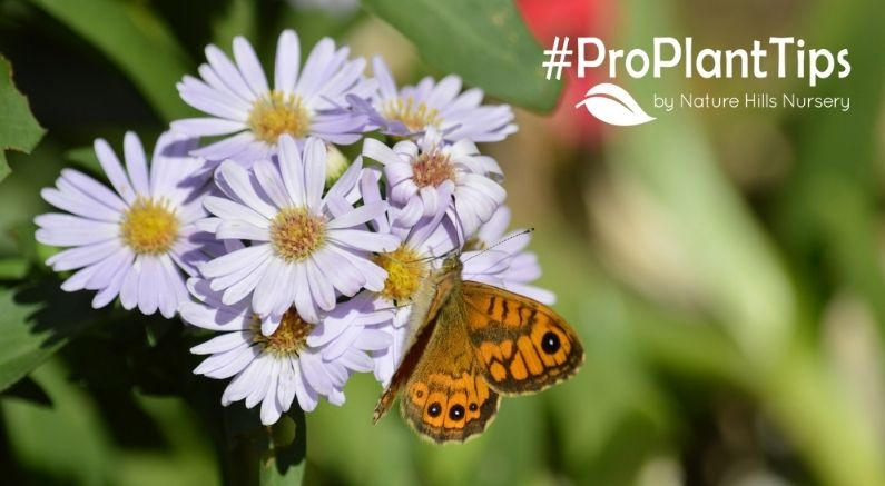 Butterfly on an Aster #ProPlantTips