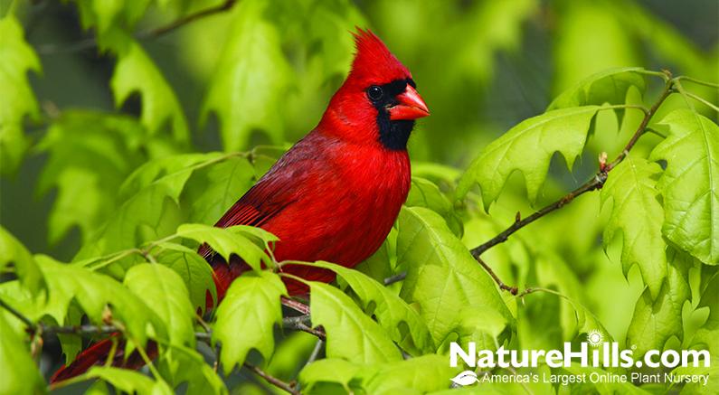 Cardinal in Oak Tree