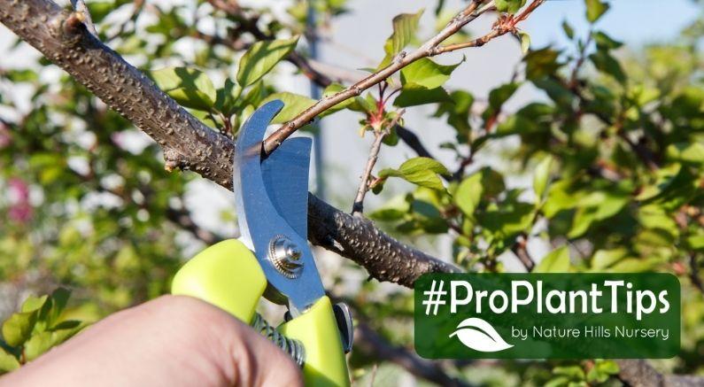Gardener Pruning a Pear Tree