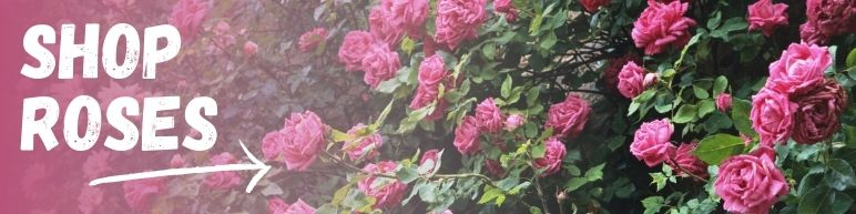 Shop Roses