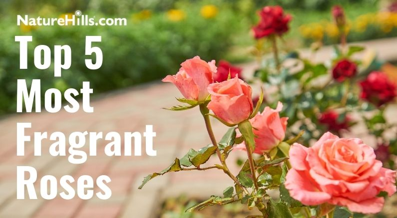 Rose image Top 5 Most Fragrant Roses