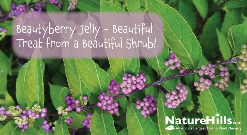 Beautyberry Bush Branch with overlaying title