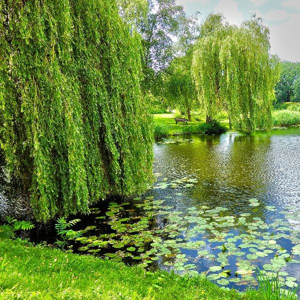 Useful, fast-growing Willow trees add so much to your landscape