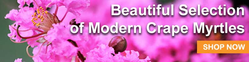 Shop the Nature Hills selection of Modern Crape Myrtles