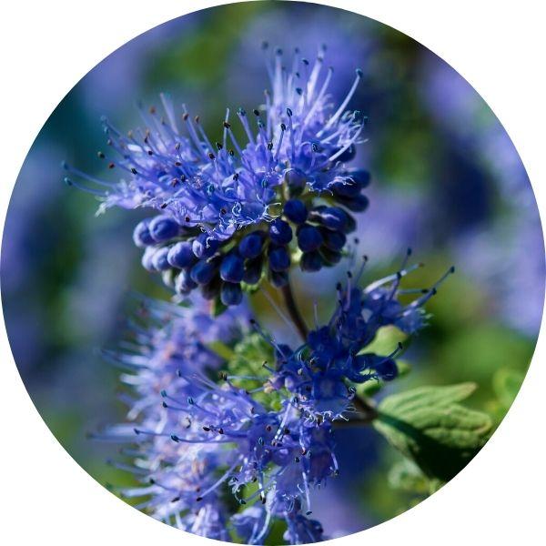 blue and purple bluebeard shrub