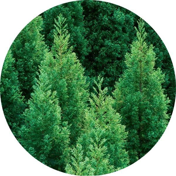 Green cedar tree foliage