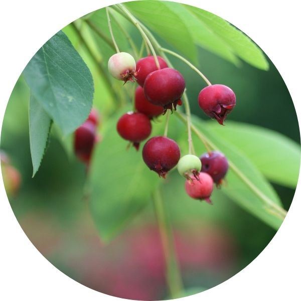 Cole's Select Serviceberry
