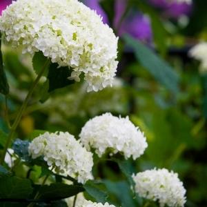 Annabelle Hydrangea Plant