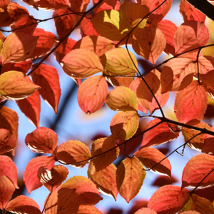 several kousa dogwood leaves in the fall