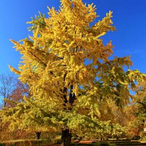 single princeton sentry ginkgo tree
