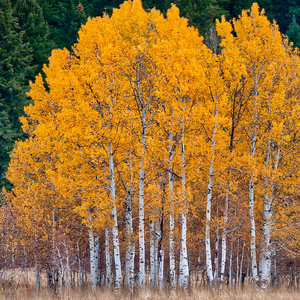 quaking aspen tree in the forest