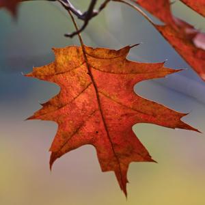 Shumard Oak tree red leaf