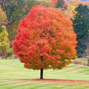 red sugar maple in yard