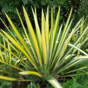Color Guard Yucca Plant