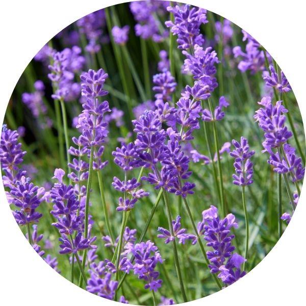lavender plant growing wild