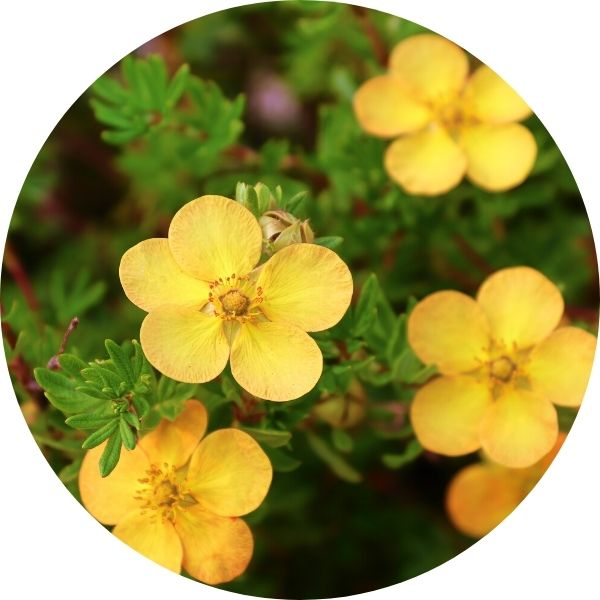 yellow flowers on potentilla shrub