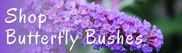 Shop Butterfly Bushes