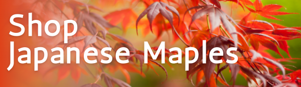 Shop Japanese Maples