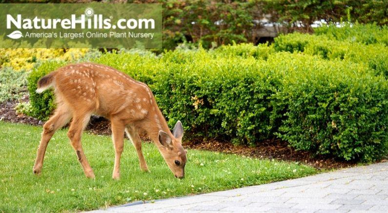 Deer eating grass in yard