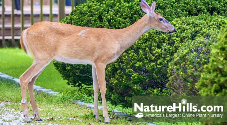 Deer eating shrubs