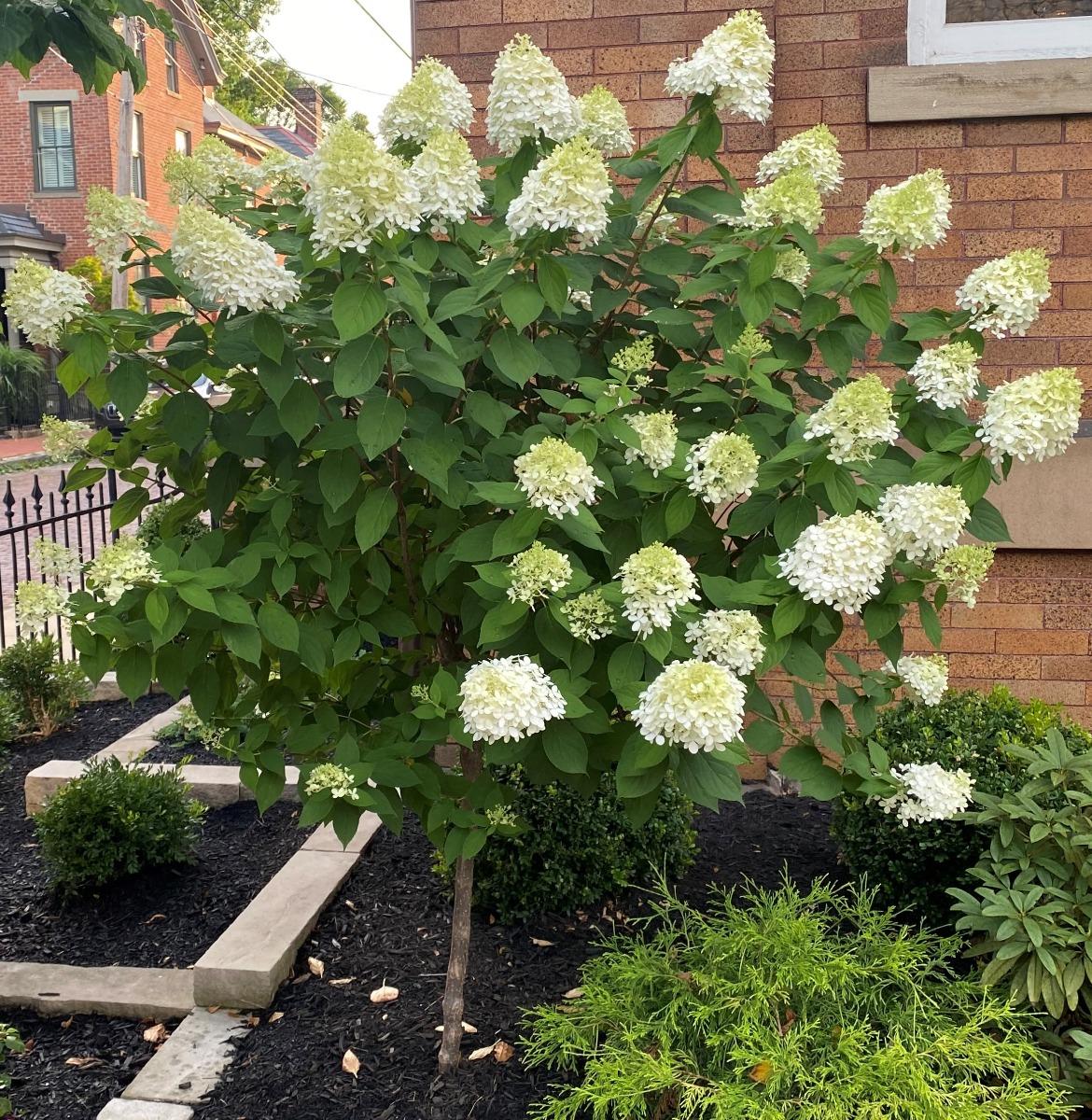 Limelight Hydrangea Tree Form in garden