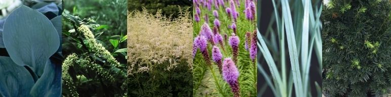 cool colored plants that work well in moist shady conditions