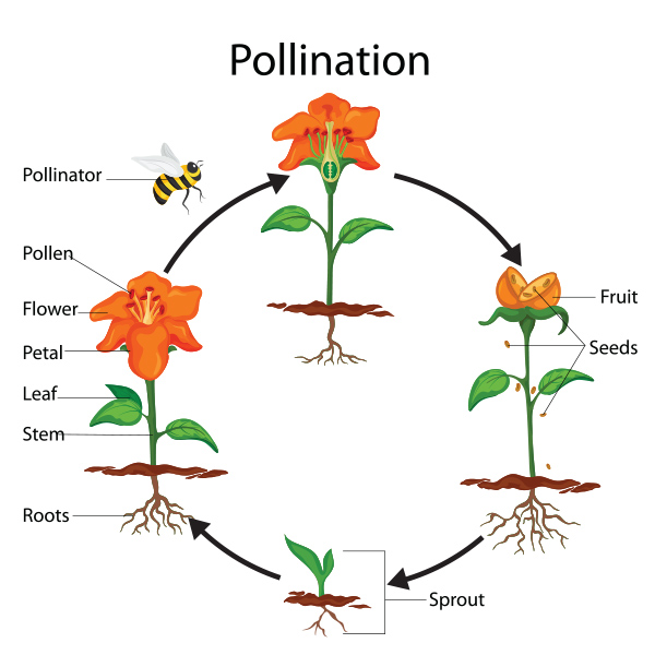 Pollination Cycle Graphic