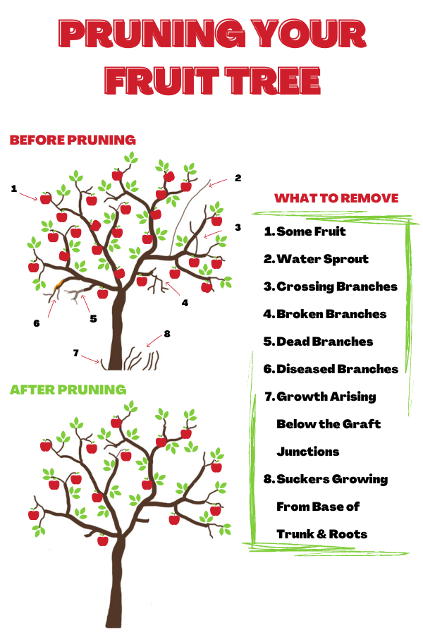 infographic outlining when to prune