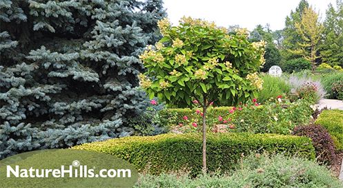 Hydrangea Tree in botanical garden