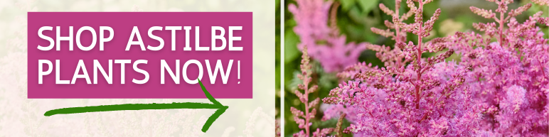 Shop Astilbe Plants Now