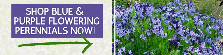 Shop Blue and Purple Flowering Perennials Now