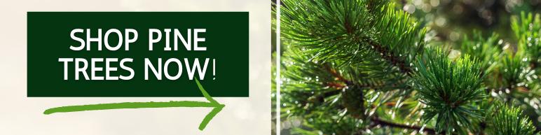 Shop Pine Trees Now