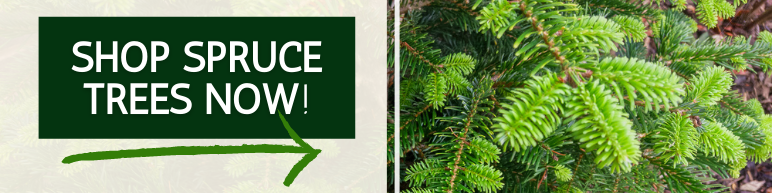 Shop Spruce Trees Now