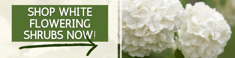 Shop White Flowering Shrubs Now