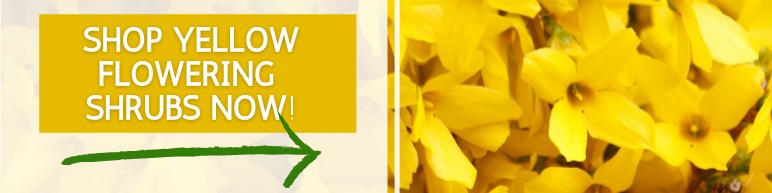 Shop Yellow Flowering Shrubs Now