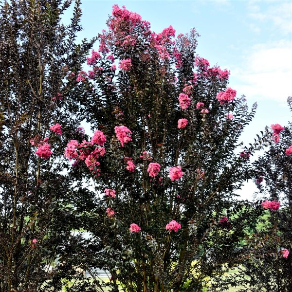Twilight Magic Crape Myrtle