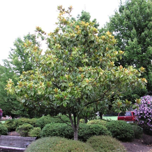 Bracken's Brown Beauty Magnolia